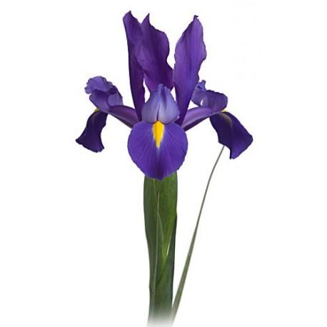Iris / Tulip Mixed Box 10 Bunches