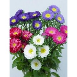 Matsumoto Aster Assorted 10 / 5 Bunches