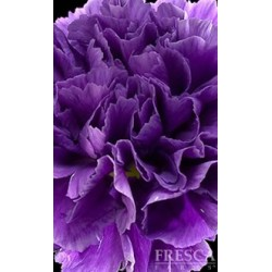 Florigene Moon Series Carnations ASSORTED 140/160 Stems