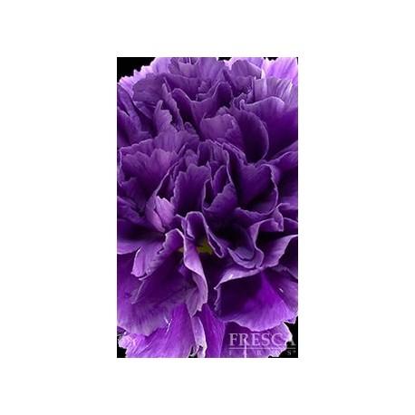 Florigene Moon Series Carnations ASSORTED 140/160 Stems