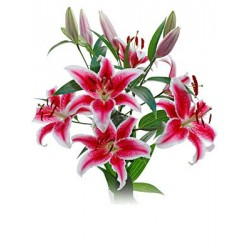 Stargazer Lillies 5 Bunches