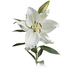 White Oriental Lillies 5 Bunches