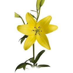 Asiatic Lillies Yellow 5 Bunches