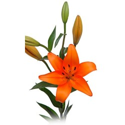 Asiatic Lillies Orange 5 Bunches