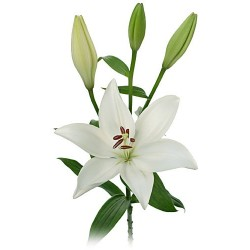 Asiatic Lillies White 5 Bunches