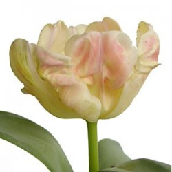 Libretto Parrot Tulips 12 Bunches