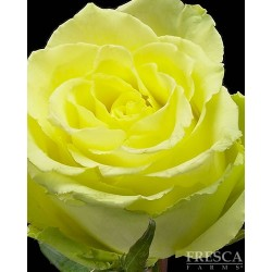 Limbo Roses 100 Stems