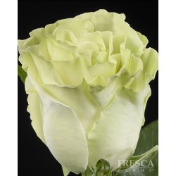 Super Green Roses 100 Stems