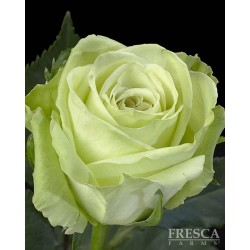 Green Tea Roses 100 Stems