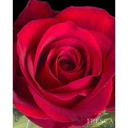 Freedom RUSSIAN CUT Red Roses 100 Stems