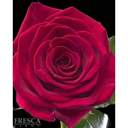 Cherry Love Red Roses 100 Stems