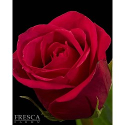 Cherry O Dark Pink Roses 100 Stems