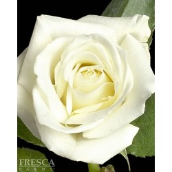 Growers Choice White Roses 100 Stems