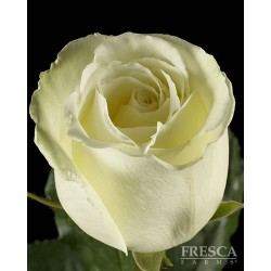 White Dove Roses 100 Stems