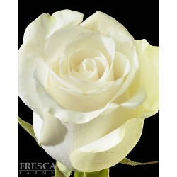 Amelia Roses 100 Stems