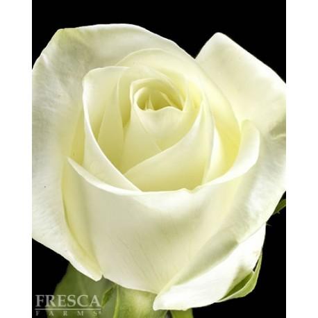 Polar Star Roses 100 Stems