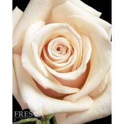 Sahara Roses 100 Stems