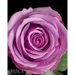 Cool Water Roses 100 Stems