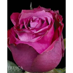 Blueberry Roses 100 Stems