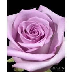Avante Garden Roses 100 Stems