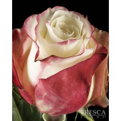 Sweetness Pink Roses 100 Stems