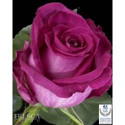 Topaz Hot Pink Roses 100 Stems