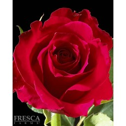 Hot Lady Roses 100 Stems