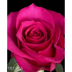 Hot Princess Roses 100 Stems