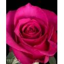 Hot Princess Roses 100 Stems