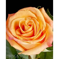 Growers Choice Orange Roses 100 Stems