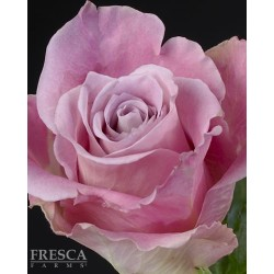 Faith Roses 100 Stems
