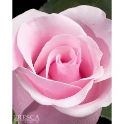 Growers Choice Pink Roses 100 Stems