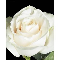 Vendella Roses 100 Stems