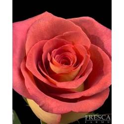 Leonidas Roses 100 Stems