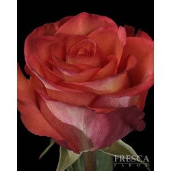High and Orange Roses 100 Stems