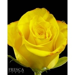 High and Magic Roses 100 Stems