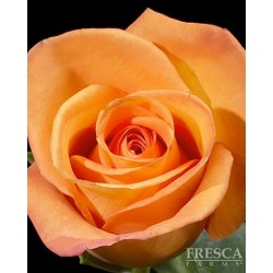 Amazon Orange Roses 100 Stems