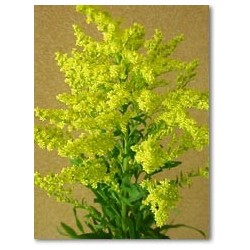 Solidago 12 Bunches