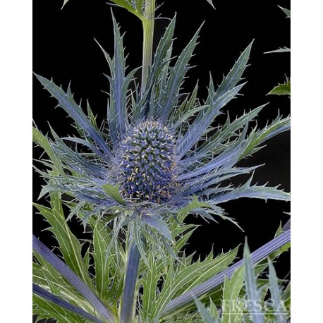 Eryngium (Thistle) 16 / 10 Bunches