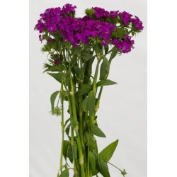 Dianthus 10 Bunches