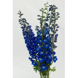 Hybrid Delphinium Dark Blue 10 Bunches