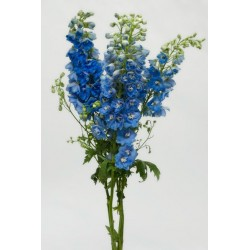 Hybrid Delphinium Light Blue 10 Bunches