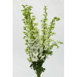 Hybrid Delphinium White 10 Bunches