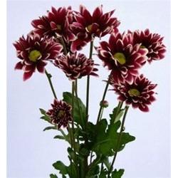 Daisy Purple 12 Bunches