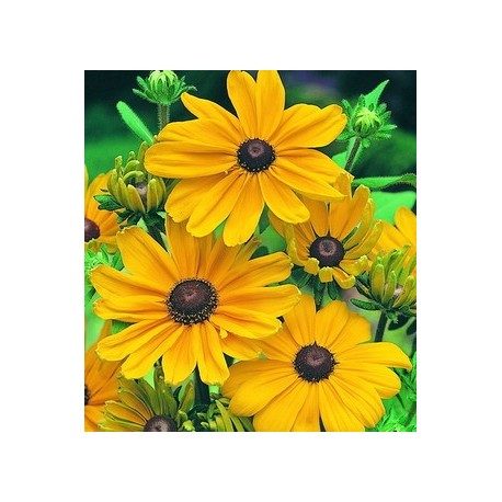 Rudbeckia 12 Bunches