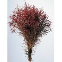 Agonis Red 10 Bunches