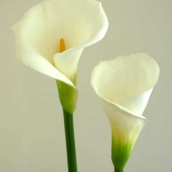 Open Cut Calla Lily 25 Stems