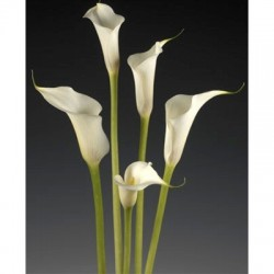 Mini Calla Lily White 60 Stems