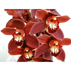 Cymbidium Orchids Brown