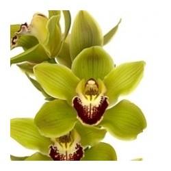 Cymbidium Orchids Dark Green
